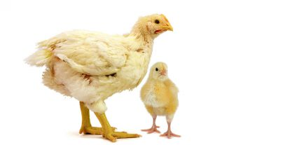 Broiler and chick