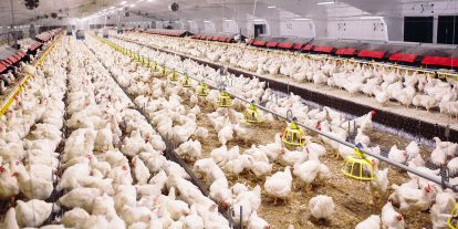Broiler chickens in a barn