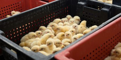 Chicks in hatchery containers.