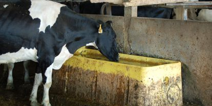 Dairy cow drinking from a waterer.