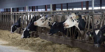 Dairy cows eating along the feed bunk.
