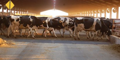 Dairy cows moving to the parlor.