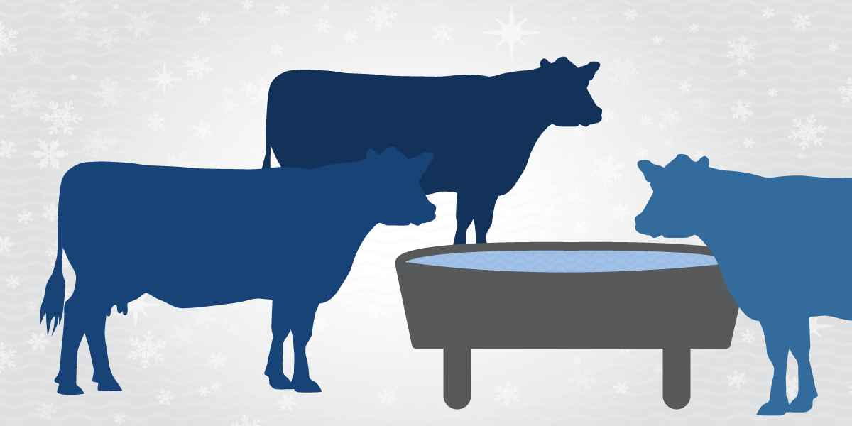 Illustration of dairy cows drinking water in cold weather.