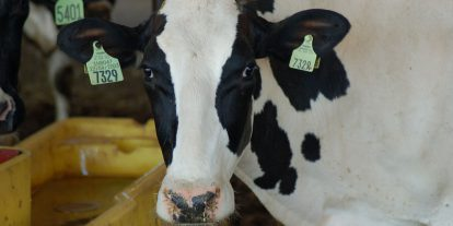 Dairy cow at the waterer.