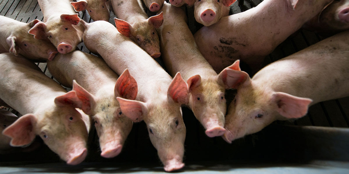 Group of weaned pigs.