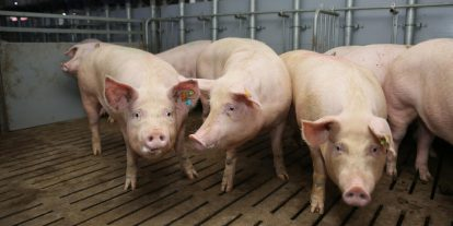 Group of feeder pigs in a pen.