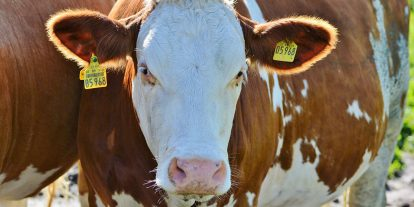 Close up of a beef cow in a pasture.