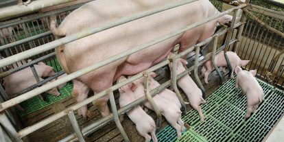 Piglets nursing a sow in a crate.