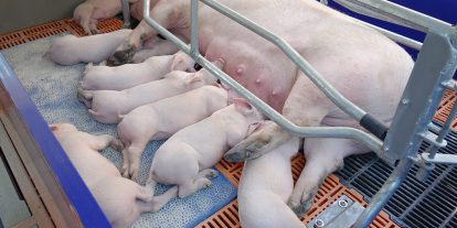 Sow nursing piglets in a gestation stall.