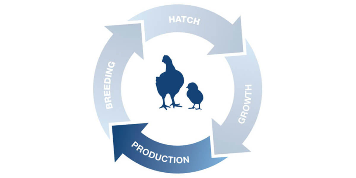 Poultry production icon.