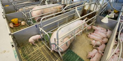 A sow and piglets in a gestation crate.