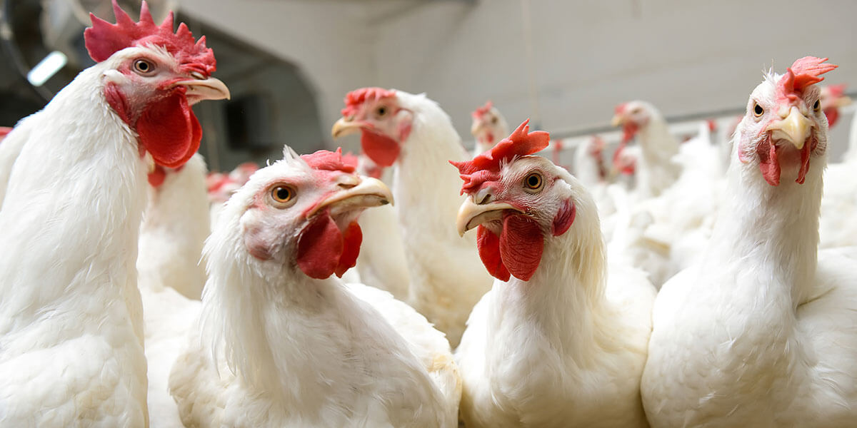 A group of broiler chickens together.