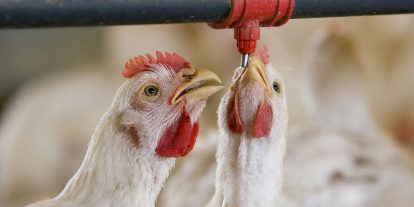 Two broilers drinking water.
