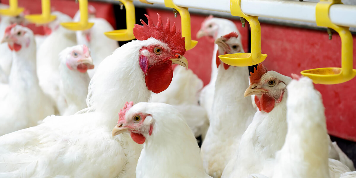 Broiler breeders at a poultry facility.