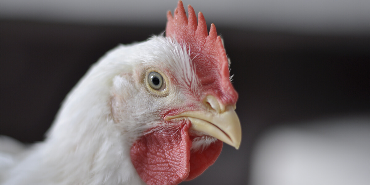Broiler chicken up close.