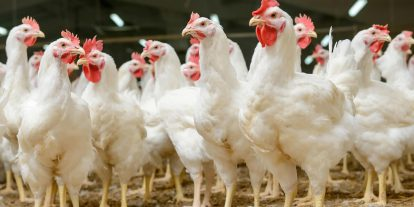 Broilers standing on litter.
