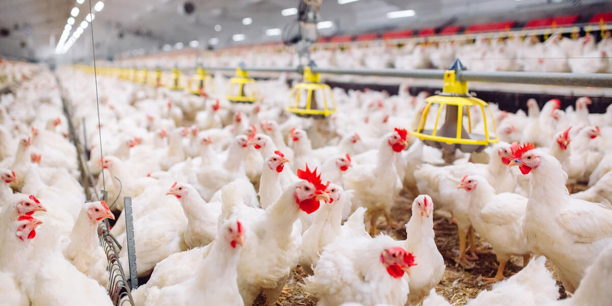Broilers and broiler breeders in a poultry facility.