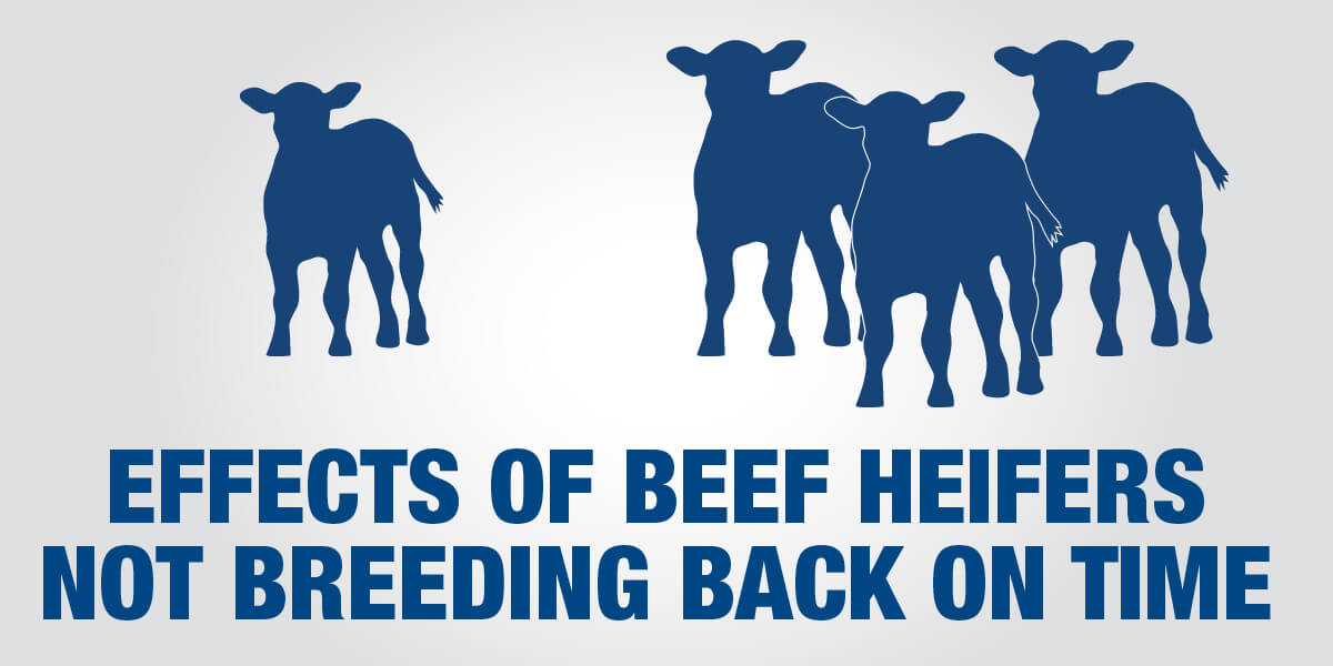 Effects of beef heifers not breeding back on time graphic