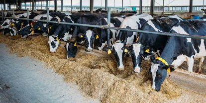 Dairy cows eating forage from the feed bunk.