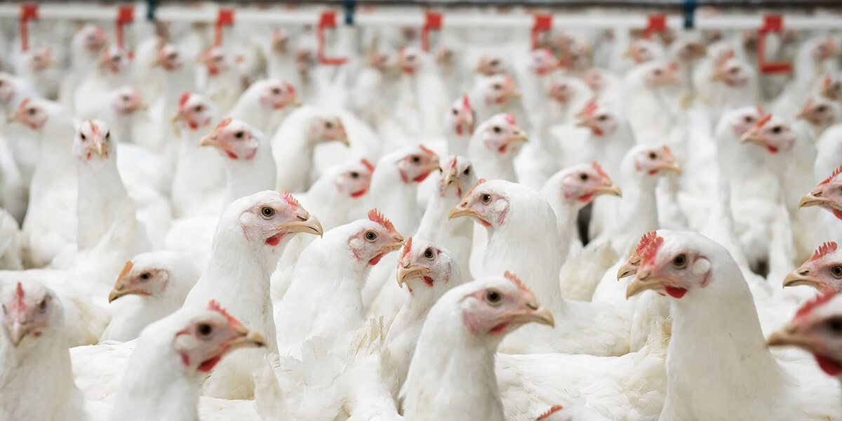 Broilers in a modern production facility.