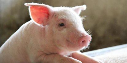 Piglet in a commercial farm