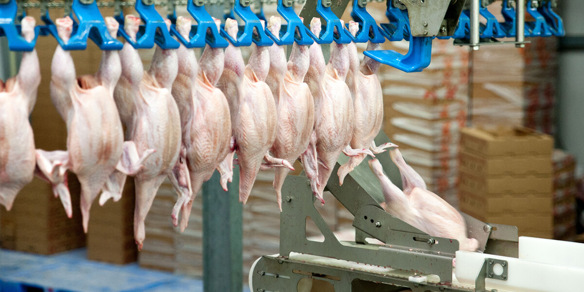 Broiler carcasses in a processing plant.